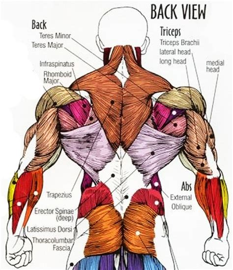 back muscles diagram anatomy lower back muscles human anatomy diagram