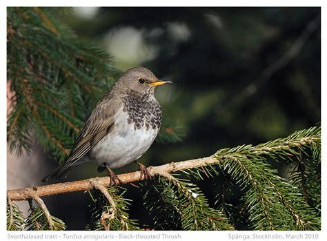 rare birds in sweden j 246 rgen lindqvist bird and wildlife