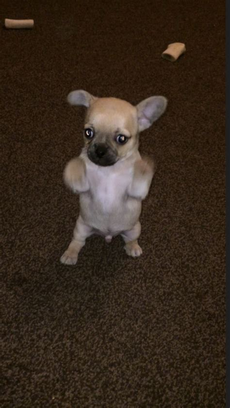 pug x chihuahua for sale pug x chihuahua wigan greater manchester pets4homes