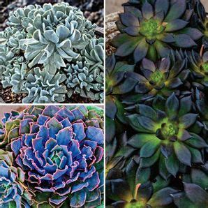 mexican hens and chicks collection for the garden