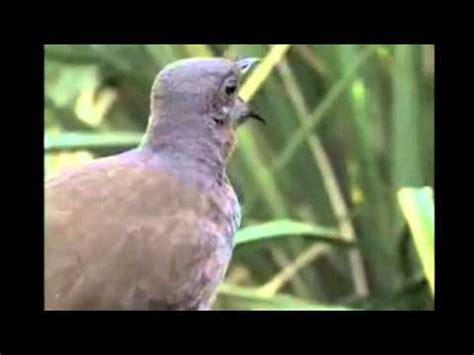 bird sounds lyre bird imitating sounds of a camera car