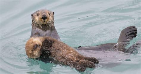 otter schlafen funfact otter umarmen sich beim schlafen think320