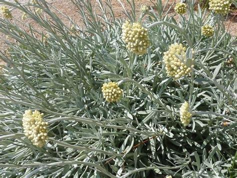 elicriso fiori elicriso piante da giardino coltivare elicriso