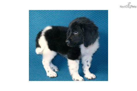 newfoundland puppies wisconsin landseer newfoundland puppies for