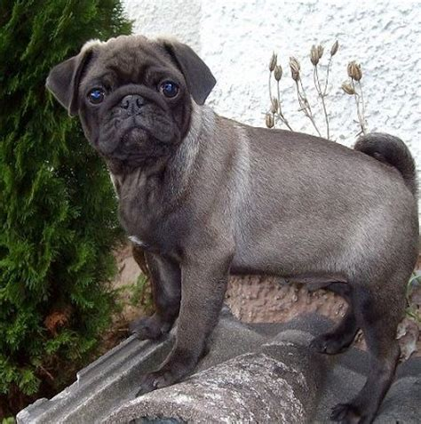 pug silver silver pug puppy silver apricot pug puppies puppys i and
