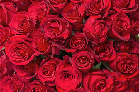 roses for valentines roses for s day valentinesday