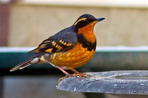 world beautiful birds varied thrushes birds
