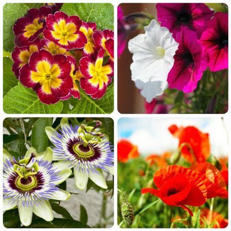 significato fiore papavero significato dei fiori mamma felice