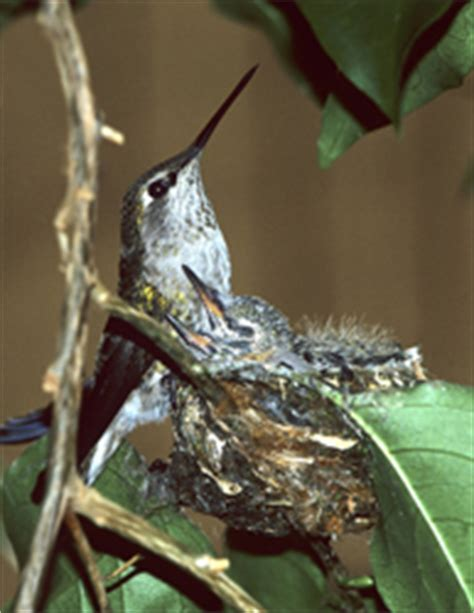 how to find a hummingbird nest