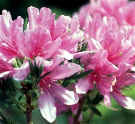 azalea western lights rhododendron western lights