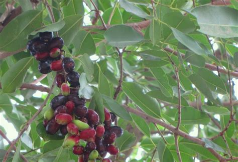 7 fruits of god gifting trees the fruit of the gods