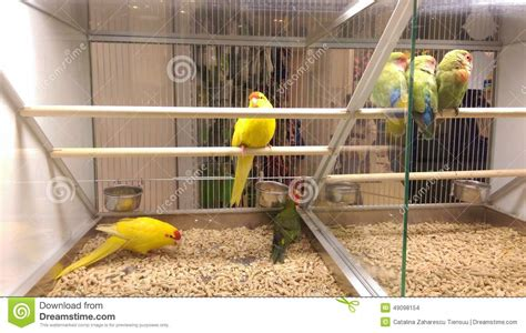 yellow parrots and love birds in a pet shop stock photo
