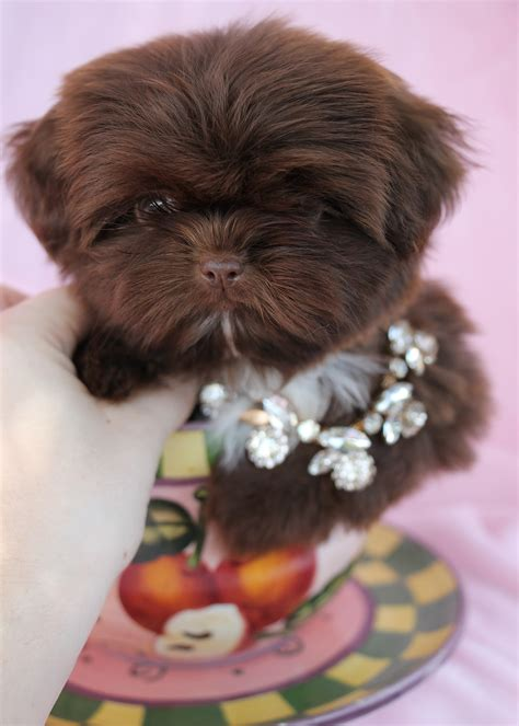 teacup shih tzu puppies for sale in south florida shih tzu puppies for sale at teacups puppies south florida breeds picture