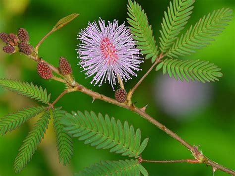 mimosa pudica sensitive plant world of flowering plants