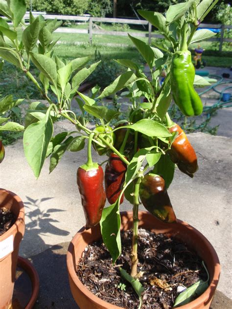 container gardening peppers perennial bell pepper project