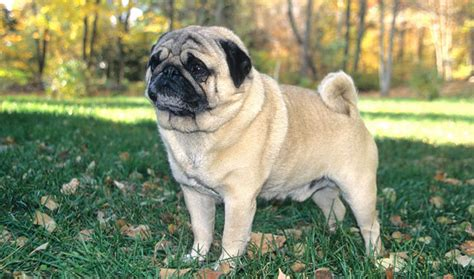 pug breed standard pug breed information