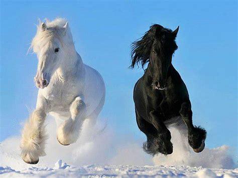 imagenes en blanco y negro de caballos a 241 oso cascabel caballo blanco y caballo negro