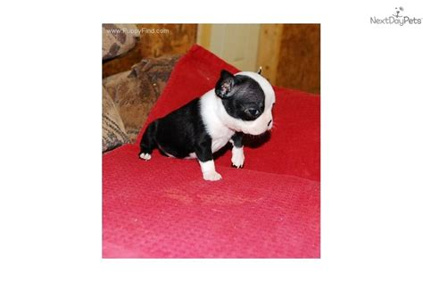miniature boston terrier puppies for sale in ohio teacup boston terrier puppies for sale in ohio breeds picture
