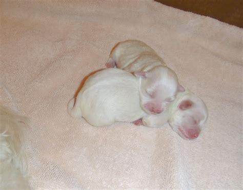 havanese newborn puppies indiana havanese puppies