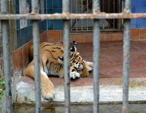tigre in gabbia il 30 novembre fuorituttidallozoo crudiezine