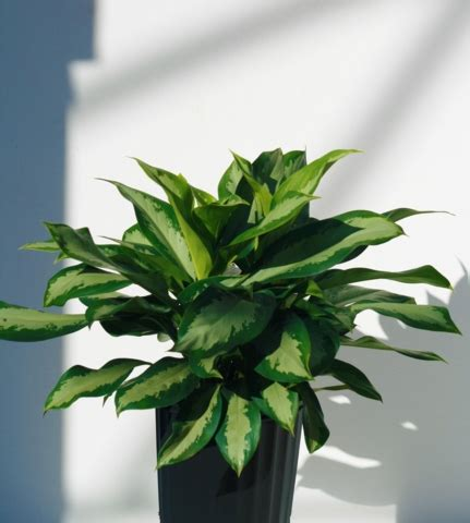 alpha botanical aglaonema plant care profile