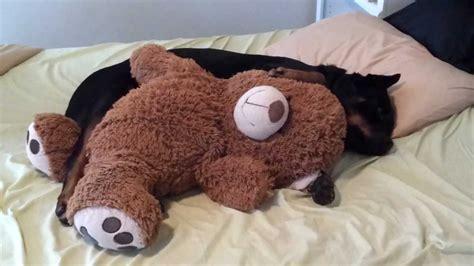 rottweiler teddy rottweiler cuddling teddy part 1
