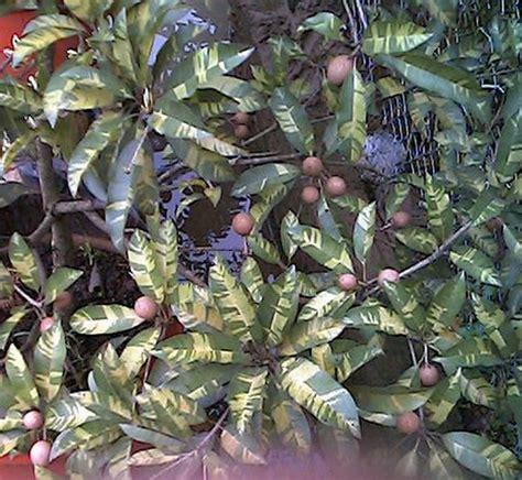 Tanaman Sawo Cm 19 Tinggi 40 60 Cm tanaman sawo variegata variegated sapodilla bibitbunga