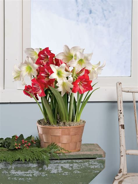 Gardeners Supply Amaryllis 1000 Images About Flowers On Ranunculus