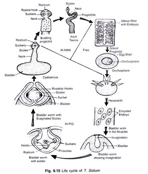 tapeworm diagram tapeworm diagram strobila