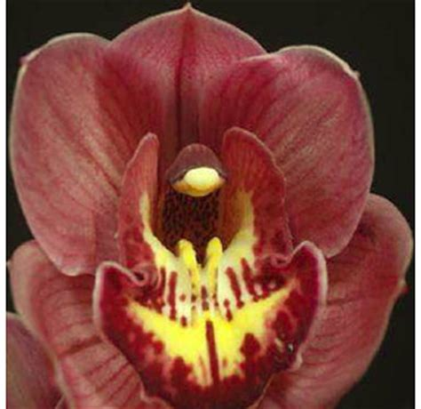 buy bulk burgundy cymbidium orchid flower  wholesale price