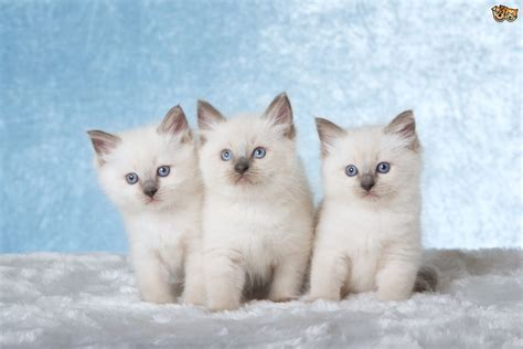 a ragdoll kitten ragdoll cat breed information buying advice photos and