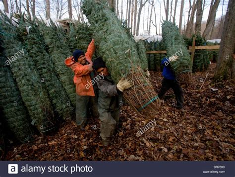 point pleasant christmas tree farm workers loading trees at a tree farm in zionville stock photo royalty free