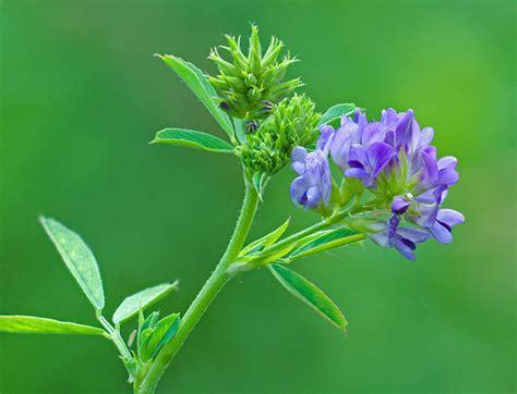 Alfalfa Flower - alfalfa philip schwarz photography blog