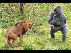 tiger  gorilla lion  gorilla real fight hoax   youtube gorilla  tiger tattoo