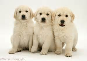 Dogs golden retriever pups photo wp12623
