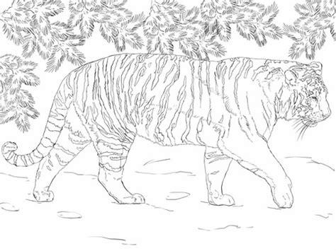siberian tiger coloring page supercoloring com