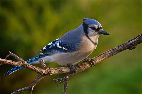 all about blue jays frankie flowers grow eat live