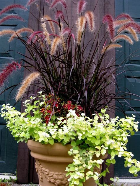 purple fountain grass in containers gardens pinterest
