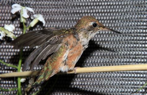 baby hummingbird rescue is a success story that s for the