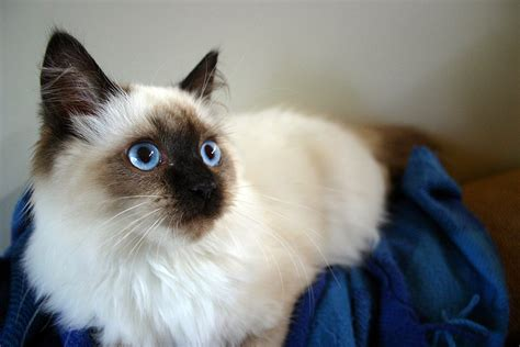 The Ragdoll Cat is the Perfect Snuggle Buddy   Healthy
