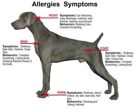 allergy symptoms health and symptoms care information obedience puppies