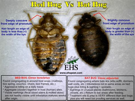 bat bug vs bed bug bed bug vs bat bug
