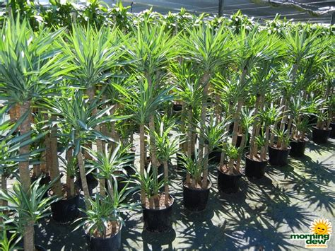 Tropical Yucca Plant by Yucca Morning Dew Tropical Plants