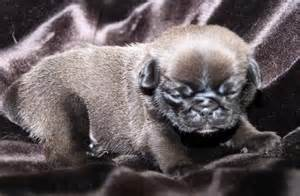chocolate pug puppies white pug gallery breeds picture