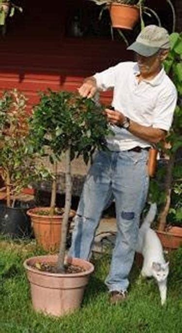 coltivazione olivo in vaso ulivo in vaso frutteto coltivazione ulivo in vaso