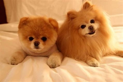 dogs that look like pomeranians dogs like boo the pomeranian memes