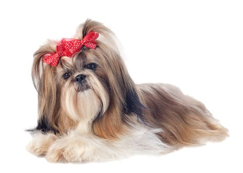 shih tzu png shih tzu with bows nail now 50 more free patch puppy