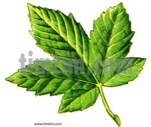 free drawing leaf maple category climate amp nature timtim