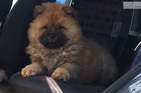 puppies for sale amarillo tx chow chow puppy for sale near amarillo afd438ac fd61 chow chow puppy
