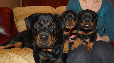 rottweiler as family 14 signs you are a rottweiler person